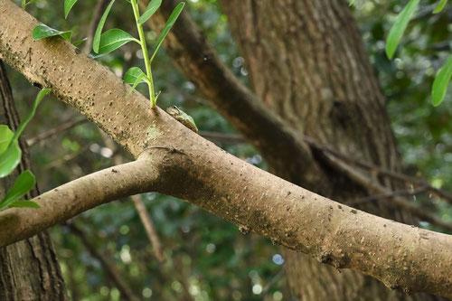 海桐の木の幹