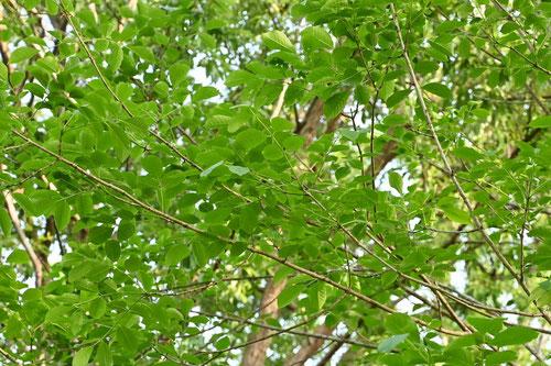 タモの木,葉