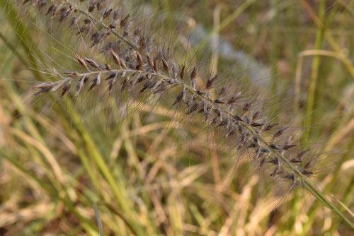 力芝の実,種子
