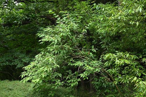 紫式部,むらさきしきぶ,木,特徴