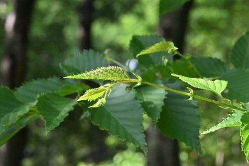 梓の木の葉