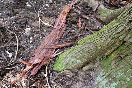 杉皮,すぎの木