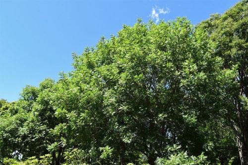 櫂の木,特徴