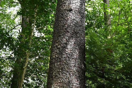 バラモミの幹