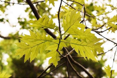 アカガシワ,赤柏の木