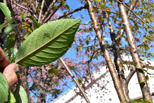 Wild himalayan cherry,leaf