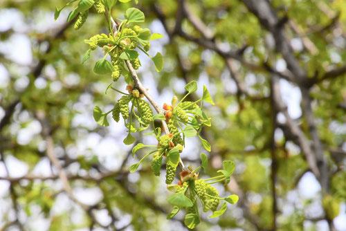 イチョウの花,画像