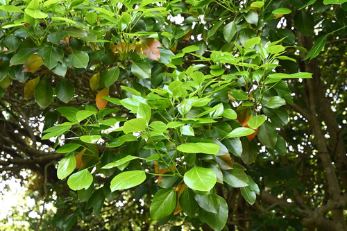 隠れ蓑の木