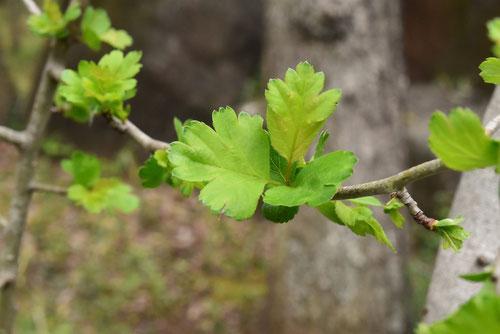 Hawthorn,leaf