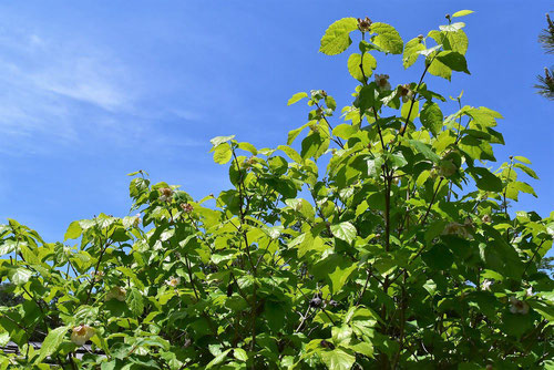 夏に咲くロウバイ