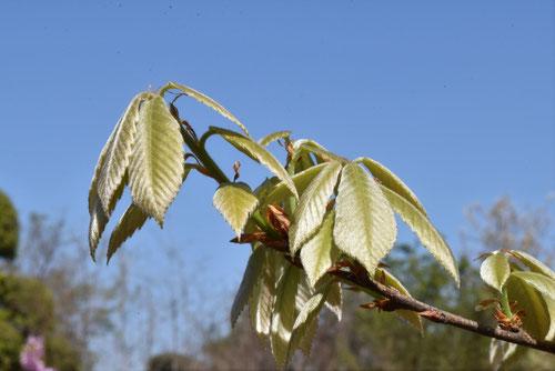 Konara Oak,picture