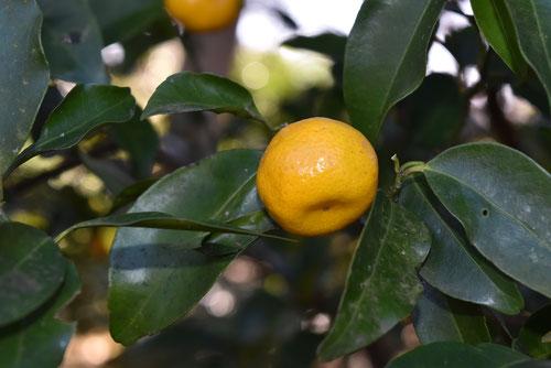橘,ミカンの木