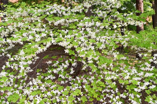 ツツジの種類,しろやしお,白い花