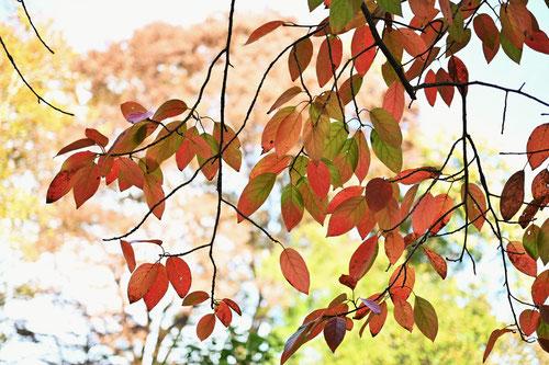 サクラ 紅葉 きれい