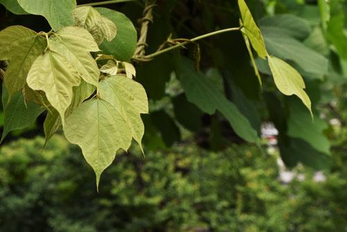 クズの蔓,くず,植物