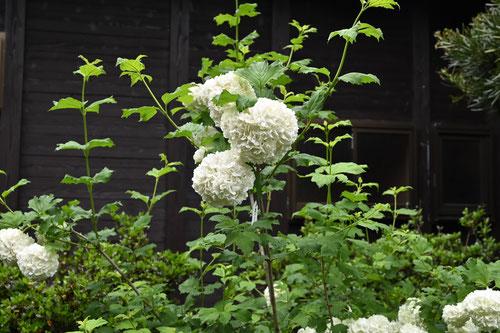 オオデマリ 開花時期