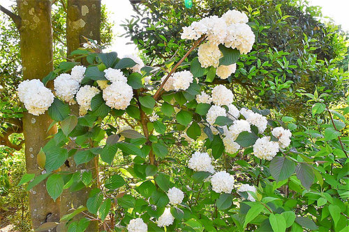オオデマリ,開花時期