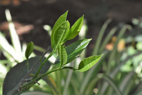 ライムの木の葉っぱ