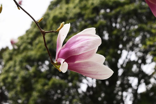 Magnolia flower  in Japan
