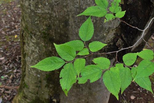 ムクノキ,葉っぱ,画像