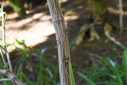 ライムの木,特徴