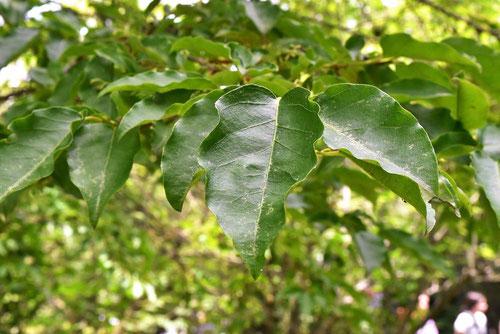 捩木 樹木 葉っぱ