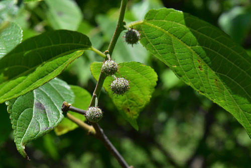 paper mulberry,fruits