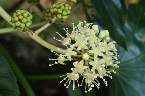 八つ手の花が咲く時期