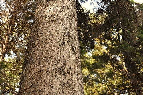 鉛筆の木,エンピツビャクシン,画像
