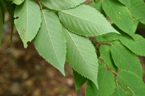 ミノカブリ ハネカワ 木