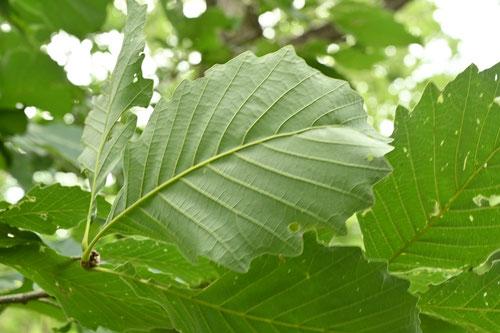 楢柏の木,画像