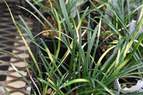 斑入りじゃのひげ,植物