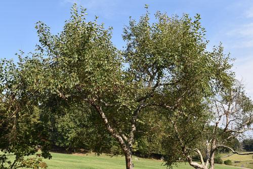 小斧折れの木,樹形