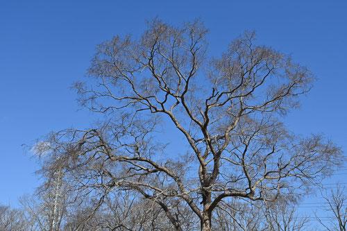 Chinese elm,tree