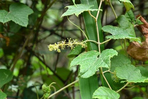 エビカズラの花