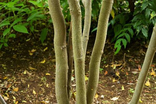 Sweetleaf,tree,picture