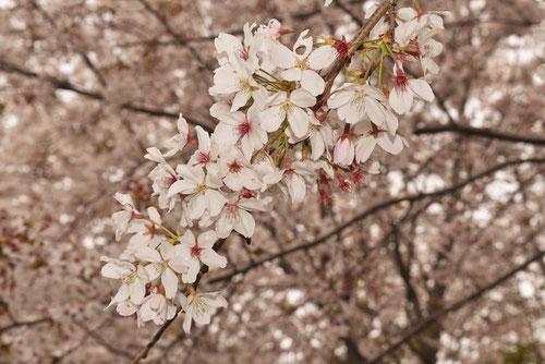 そめいよしの,桜