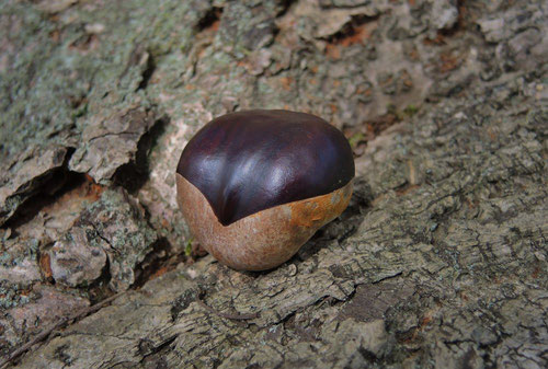 Horse chestnut,fruits