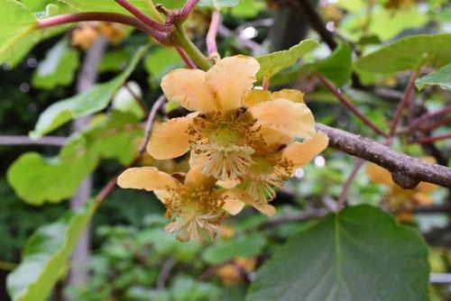 キウイの花 画像