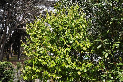 天台烏薬 樹木