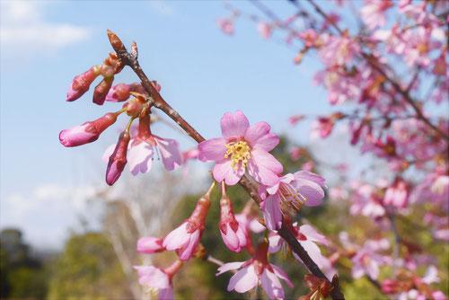 オカメザクラの花,特徴,樹高