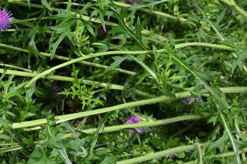 野薊の茎,画像