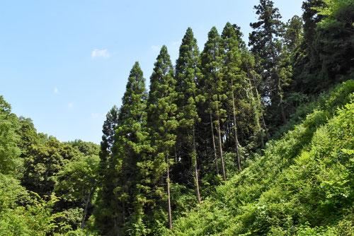 スギ林の写真