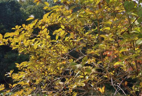 黄葉,紅葉,タニウツギ