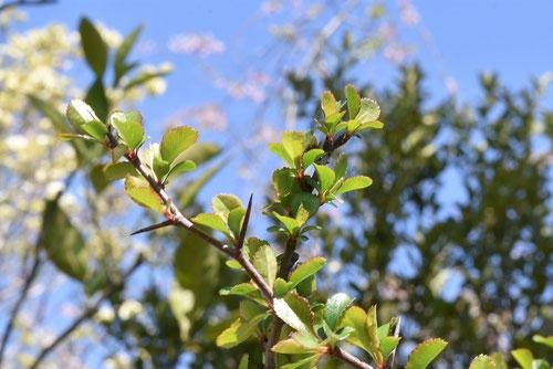 長寿梅の木