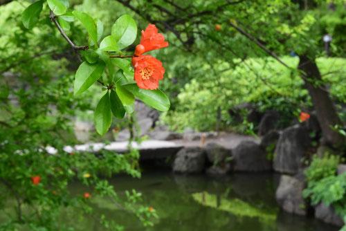 Pomegranate tree,flower