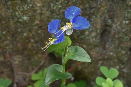 ホタルグサ,植物