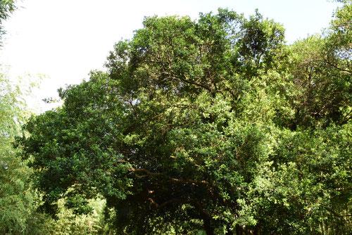 大葉イヌツゲの木