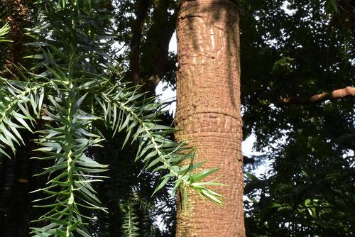 ピニョンの木