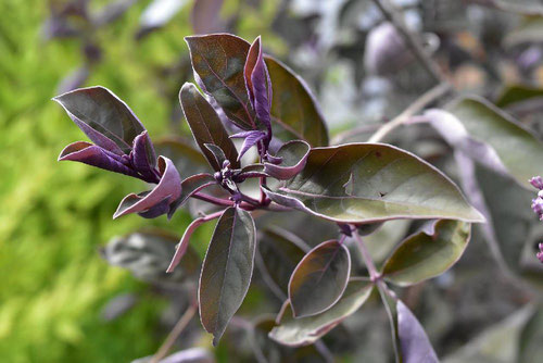 Chaste tree,purple leaf